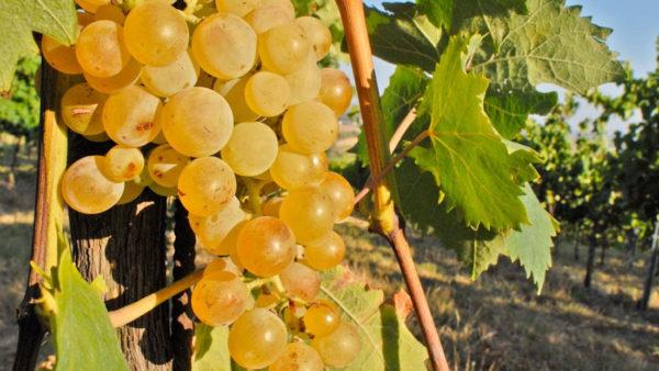 vitigno albana emilia romagna